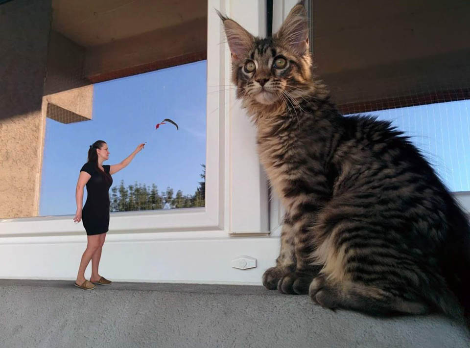 Terraces and the dangers of living high with a Maine Coon