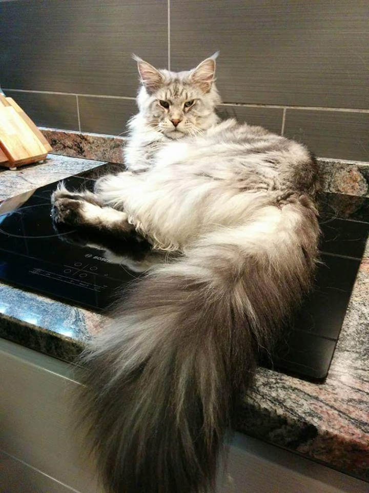 Maine Coon on a piano cottura a induizione