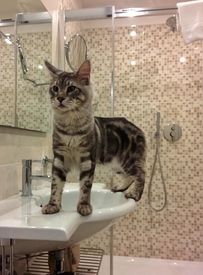 Maine Coon on bathroom sink