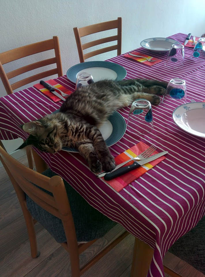 Maine Coon on a plate