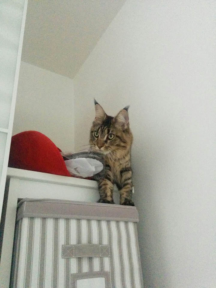 Maine Coon Hiding on top of a wardrobe