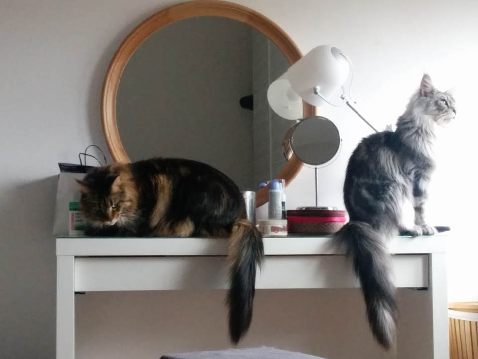 Maine Coon on makeup table