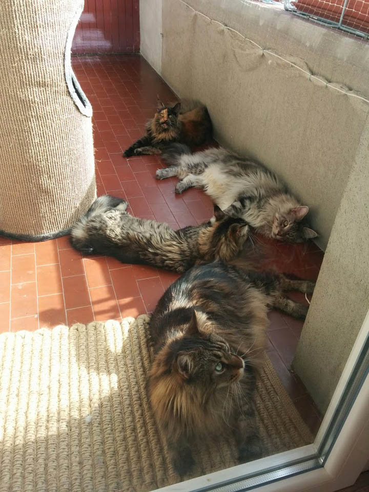 Maine Coon cats lounging in terrace
