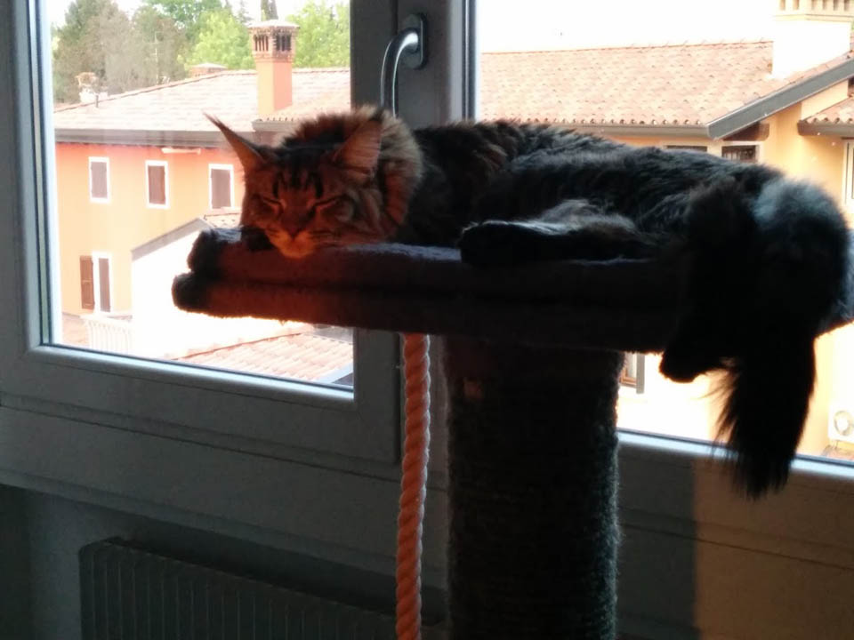 Maine Coon chilling in apartment