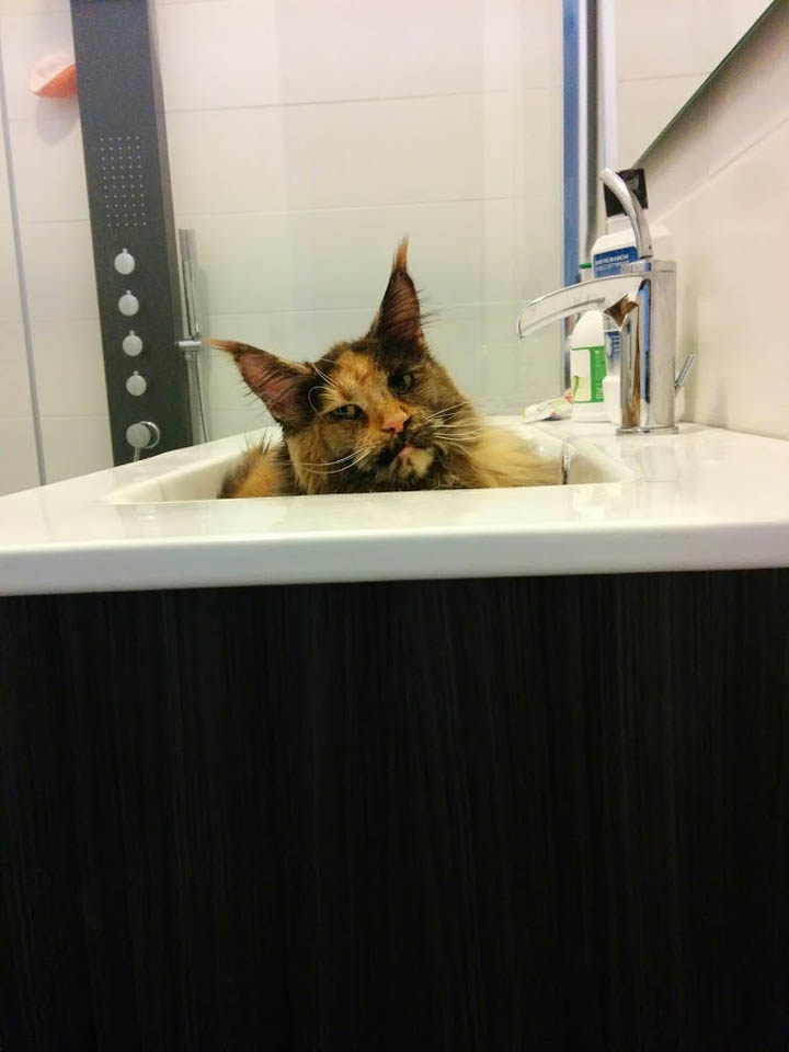Maine Coon in bathroom sink
