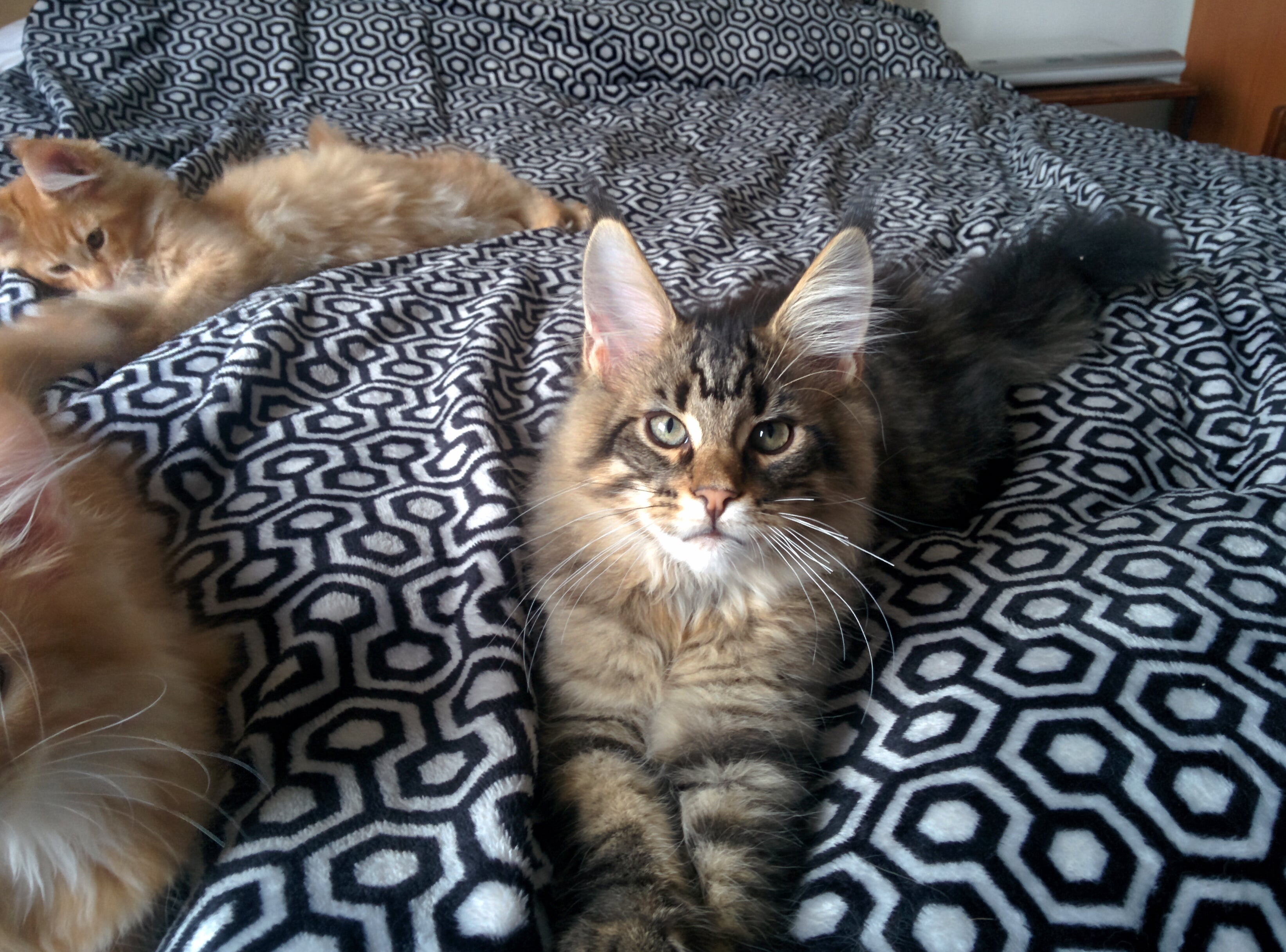 What Do Maine Coon Cats Like To Eat
