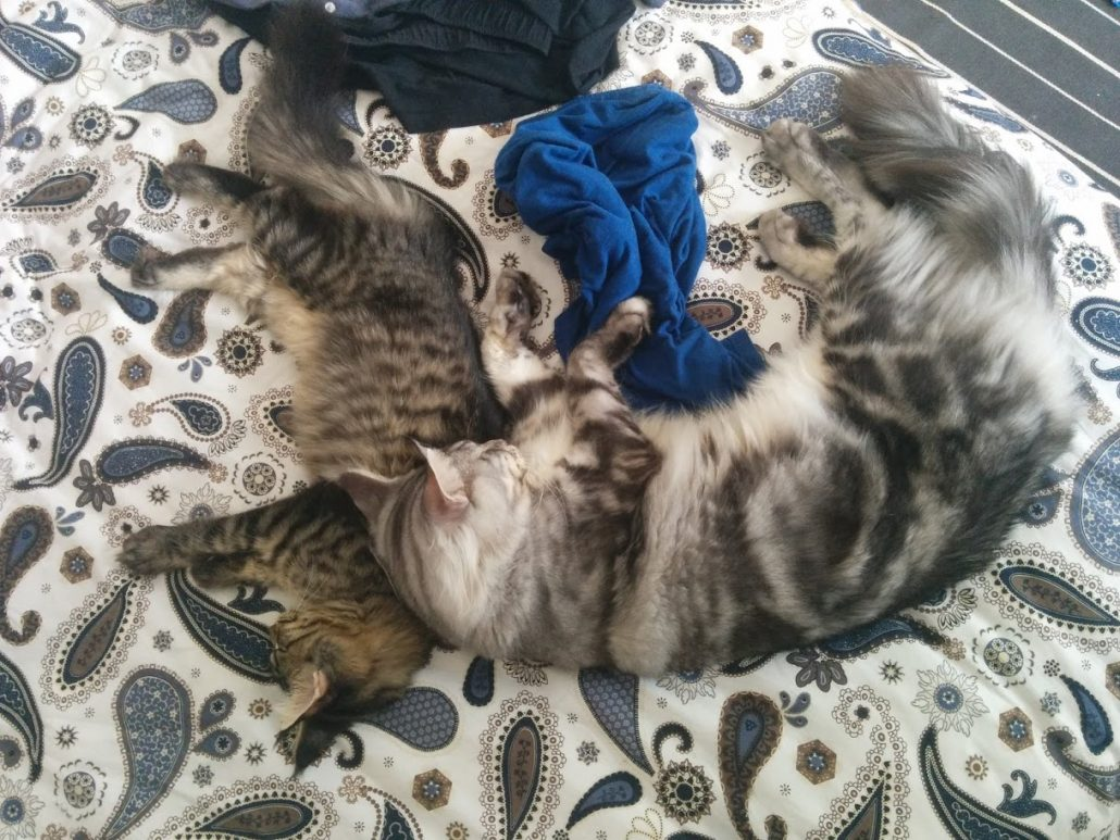Maine Coons che dorme insieme