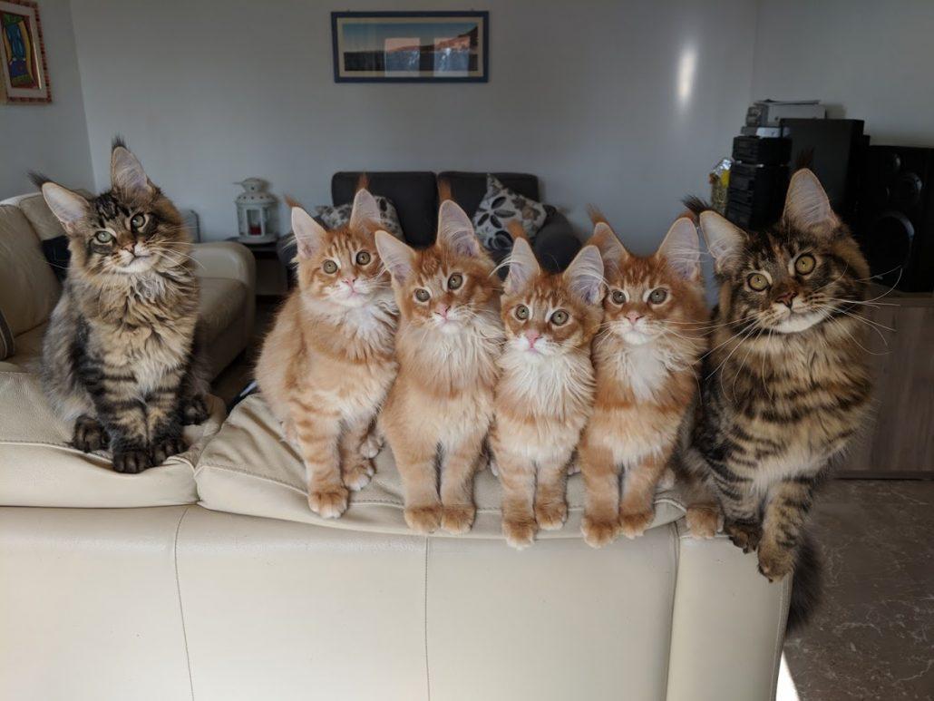 Un sacco di Maine Coon Kittens