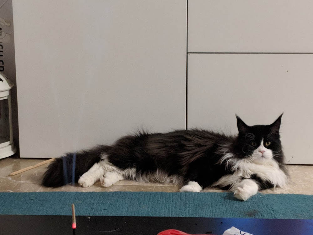Cat Colours And Patterns Are Deceptive A Maine Coon Colour Guide