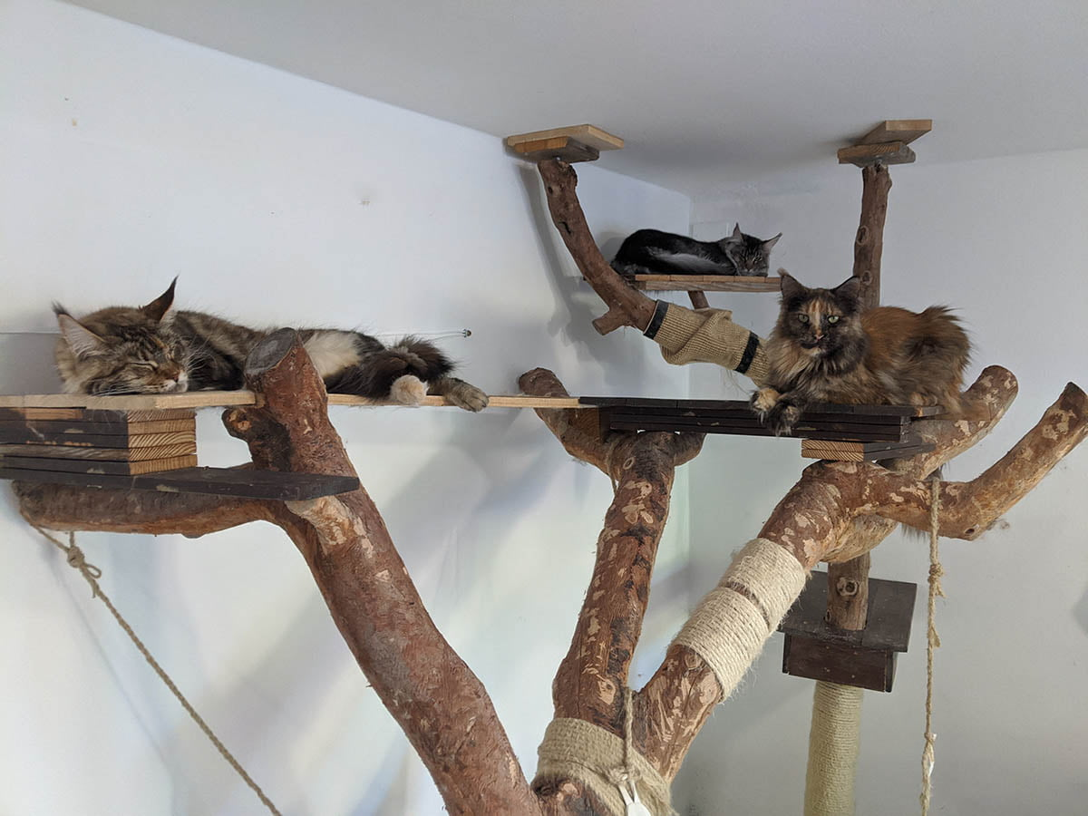 Maine Coons sleeping in a handmade cat tree