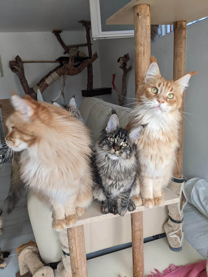 two red maine coon females and a brown female kitten