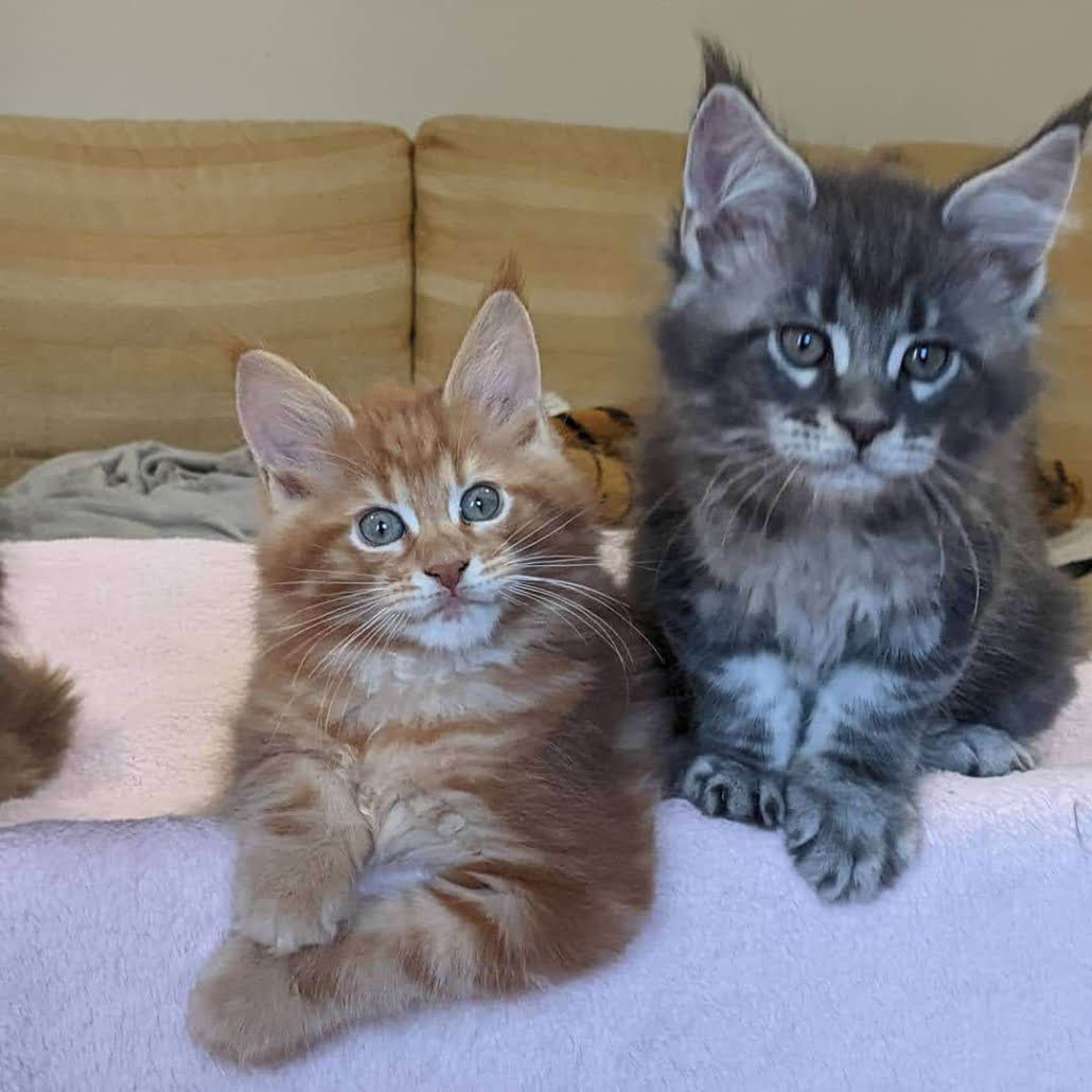 two maine coon kittens in red and blue tabby
