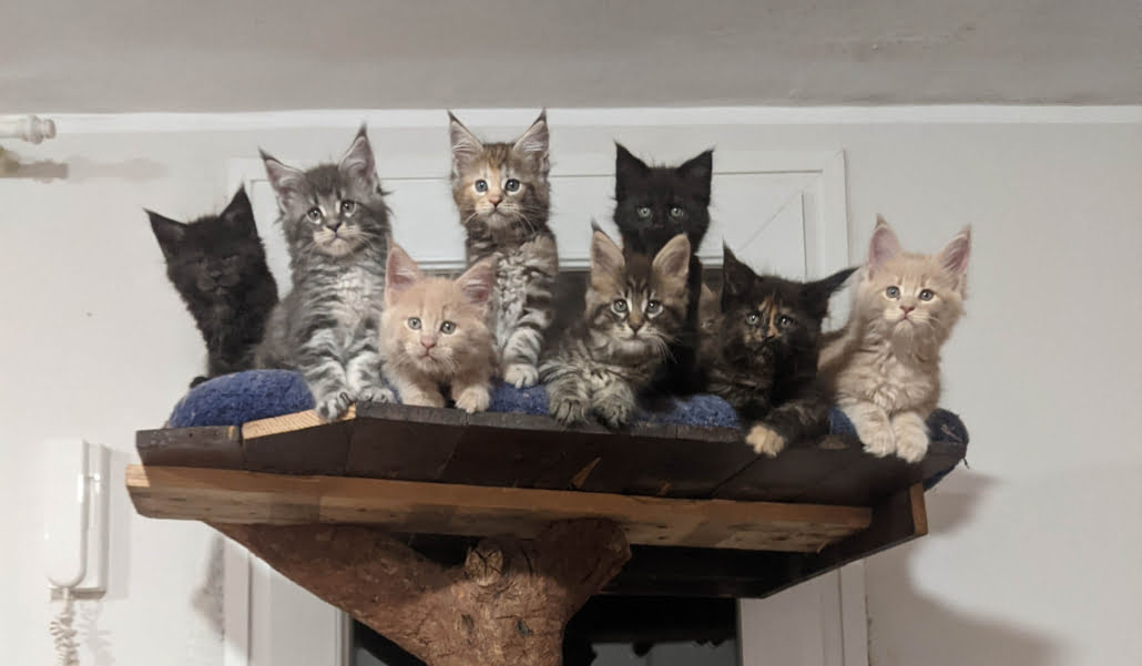 maine coon kittens in a cat tree