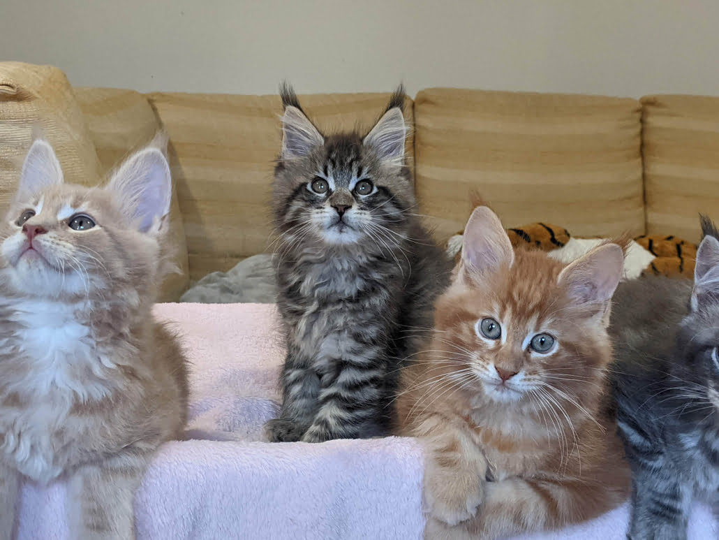 three maine coon kittens in red and blue tabby
